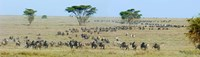 Herd of wildebeest and zebras in a field, Ngorongoro Conservation Area, Arusha Region, Tanzania Fine Art Print