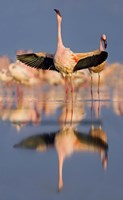 "Lesser flamingo wading in water, Lake Nakuru, Kenya (Phoenicopterus minor) by Panoramic Images - 10"" x 16"""