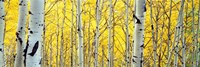 Aspen trees in a forest Fine Art Print