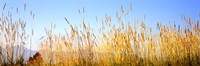 """Tall grass in a national park, Grand Teton National Park, Wyoming, USA by Panoramic Images - 27"""" x 9"""""""