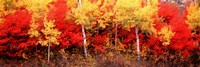 "Aspen and Black Hawthorn trees in a forest, Grand Teton National Park, Wyoming by Panoramic Images - 27"" x 9"""