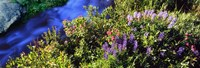 "High angle view of Lupine and Spirea flowers near a stream, Grand Teton National Park, Wyoming, USA by Panoramic Images - 27"" x 9"""