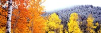 "Aspen trees in a forest, Blacktail Butte, Grand Teton National Park, Wyoming, USA by Panoramic Images - 27"" x 9"""