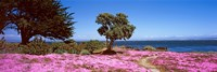 """Flowers on the beach, Pacific Grove, Monterey County, California, USA by Panoramic Images - 27"""" x 9"""", FulcrumGallery.com brand"""