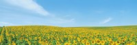 "Field of sunflower with blue sky by Panoramic Images - 27"" x 9"""