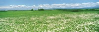 """Meadow flowers, Daisy field by Panoramic Images - 27"""" x 9"""""""