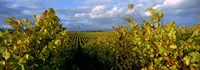 """Low angle view of vineyard and windmill, Napa Valley, California, USA by Panoramic Images - 27"""" x 9"""""""