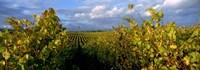 Low angle view of vineyard and windmill, Napa Valley, California, USA Fine Art Print