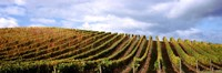 """Rows of vines with leaves, Napa Valley, California, USA by Panoramic Images - 27"""" x 9"""""""