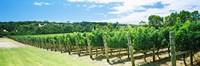 "Vineyard, Margaret River, Western Australia, Australia by Panoramic Images - 27"" x 9"""