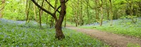 """Bluebells growing in a forest, Woolley Wood, Sheffield, South Yorkshire, England by Panoramic Images - 27"""" x 9"""""""