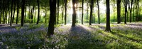 """Bluebells growing in a forest in the morning, Micheldever, Hampshire, England by Panoramic Images - 27"""" x 9"""""""