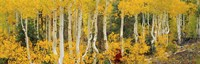 """Aspen Trees in Autumn, Dixie National Forest, Utah by Panoramic Images - 27"""" x 9"""""""