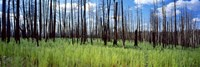 """Burnt Pines at the Grand Canyon, Arizona by Panoramic Images - 27"""" x 9"""", FulcrumGallery.com brand"""