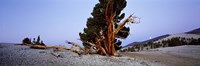 """Bristlecone pine tree in Ancient Bristlecone Pine Forest, White Mountains, California, USA by Panoramic Images - 27"""" x 9"""", FulcrumGallery.com brand"""