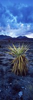 """Yucca flower in Red Rock Canyon National Conservation Area, Las Vegas, Nevada, USA by Panoramic Images - 9"""" x 27"""""""