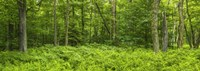 "Ferns blanketing floor of summer woods near Old Forge in the Adirondack Mountains, New York State, USA by Panoramic Images - 27"" x 9"" - $28.99"