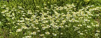 """German chamomile (Matricaria chamomilla) in bloom by Panoramic Images - 27"""" x 9"""" - $28.99"""