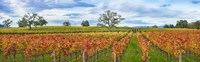 Autumn color vineyards, Guerneville Road, Sonoma County, California, USA Fine Art Print
