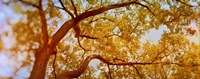 """Low angle view of a tree in autumn by Panoramic Images - 27"""" x 9"""", FulcrumGallery.com brand"""