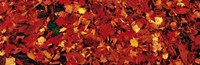 "Autumn Leaves Great Smoky Mountains National Park NC USA by Panoramic Images - 36"" x 12"", FulcrumGallery.com brand"