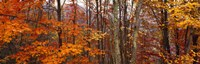"Autumn trees in Great Smoky Mountains National Park, North Carolina, USA by Panoramic Images - 36"" x 12"", FulcrumGallery.com brand"