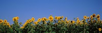 """Sunflowers in a field, Marion County, Illinois, USA (Helianthus annuus) by Panoramic Images - 36"""" x 12"""""""