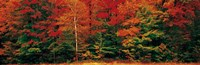 Fall Maple Trees Fine Art Print