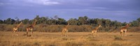 """View Of A Group Of Giraffes In The Wild, Maasai Mara, Kenya by Panoramic Images - 36"""" x 12"""", FulcrumGallery.com brand"""