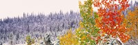 "Winter, Aspens, USA by Panoramic Images - 36"" x 12"", FulcrumGallery.com brand"