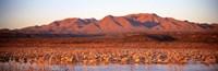 "Sandhill Crane, Bosque Del Apache, New Mexico, USA by Panoramic Images - 36"" x 12"""