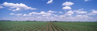 """Cornfield, Marion County, Illinois, USA by Panoramic Images - 36"""" x 12"""" - $34.99"""