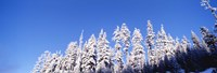 """Pine Trees in Winter, Oregon by Panoramic Images - 36"""" x 12"""""""