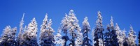 """Snow Covered Pine Trees, Oregon by Panoramic Images - 36"""" x 12"""""""