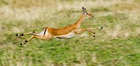 """Springbok leaping in a field by Panoramic Images - 36"""" x 12"""", FulcrumGallery.com brand"""