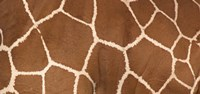 "Close-up of a reticulated giraffe markings by Panoramic Images - 36"" x 12"""