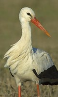 """Close-up of an European white stork, Ngorongoro Conservation Area, Arusha Region, Tanzania (Ciconia ciconia) by Panoramic Images - 16"""" x 26"""""""