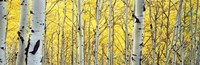"Aspen trees in a forest by Panoramic Images - 36"" x 12"""
