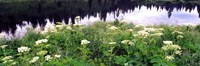 "Cow Parsnip (Heracleum maximum) flowers near a pond, Moose Pond, Grand Teton National Park, Wyoming, USA by Panoramic Images - 36"" x 12"""
