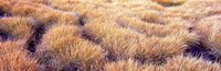 "Dry grass in a national park, South Fork Cascade Canyon, Grand Teton National Park, Wyoming, USA by Panoramic Images - 36"" x 12"""