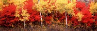 "Aspen and Black Hawthorn trees in a forest, Grand Teton National Park, Wyoming by Panoramic Images - 36"" x 12"""