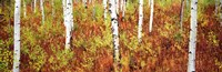 "Aspen trees in a forest, Shadow Mountain, Grand Teton National Park, Wyoming, USA by Panoramic Images - 36"" x 12"""