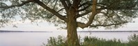 """Tree on a Lake, Wisconsin by Panoramic Images - 36"""" x 12"""""""