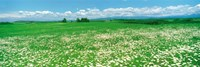 """Meadow flowers, Daisy field by Panoramic Images - 36"""" x 12"""""""