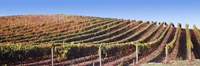 Rows of vines on a hill, Napa Valley, California, USA Fine Art Print