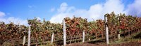 """Vines in a vineyard, Napa Valley, Wine Country, California, USA by Panoramic Images - 36"""" x 12"""""""