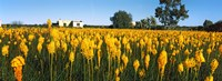 """Bulbinella nutans flowers in a field, Northern Cape Province, South Africa by Panoramic Images - 36"""" x 12"""", FulcrumGallery.com brand"""