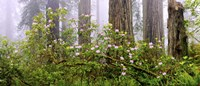 """Rhododendron flowers in a forest, Del Norte Coast State Park, Redwood National Park, Humboldt County, California, USA by Panoramic Images - 36"""" x 12"""""""