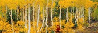 """Aspen Trees in Autumn, Dixie National Forest, Utah by Panoramic Images - 36"""" x 12"""""""