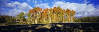 "Aspen Trees in the Fall, Utah by Panoramic Images - 36"" x 12"""